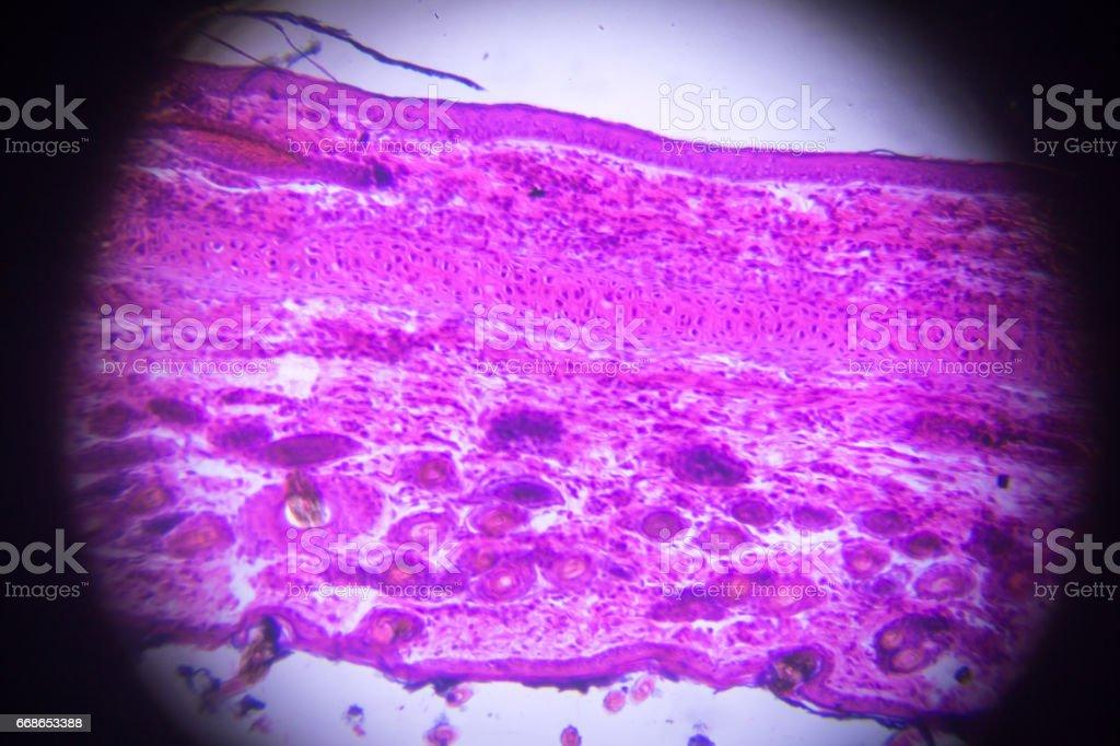 elastischen Knorpel im Mikroskop – Foto