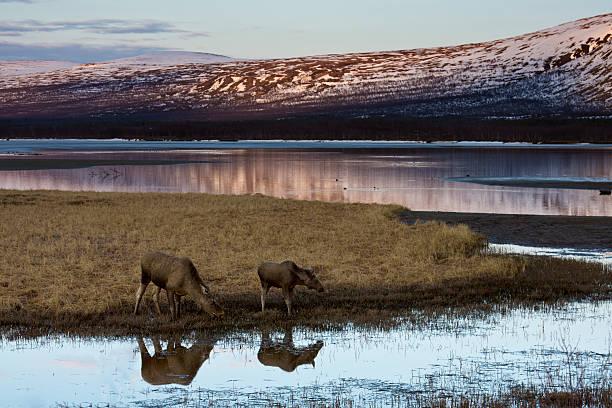 elch, moose - female and calf - älg sverige bildbanksfoton och bilder