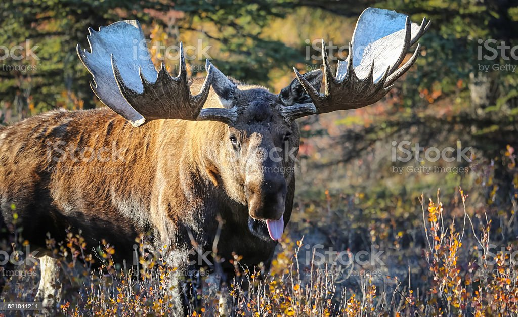 Elchbulle in Alaska – Foto