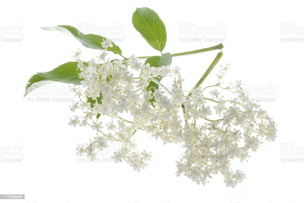 elder blossom royalty-free stock photo