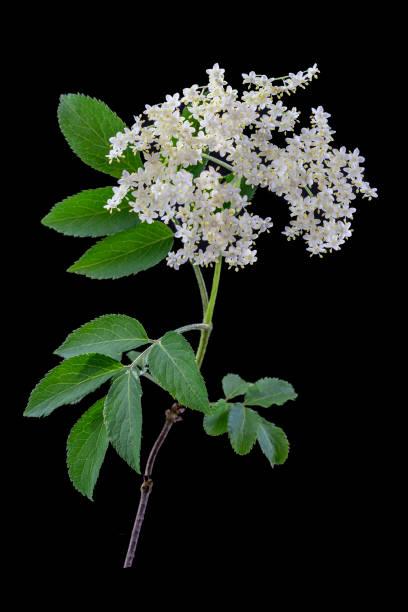 elder flower on dark background - alternative medicine stock photo