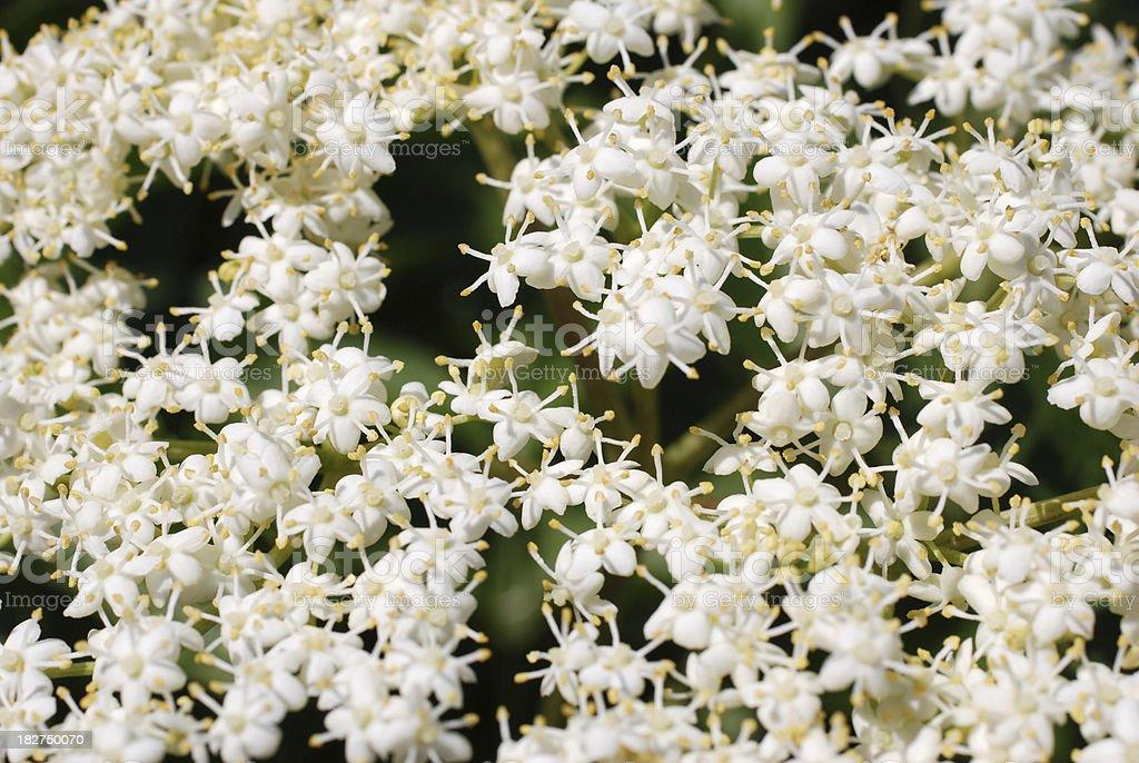 Elder flowers stock photo