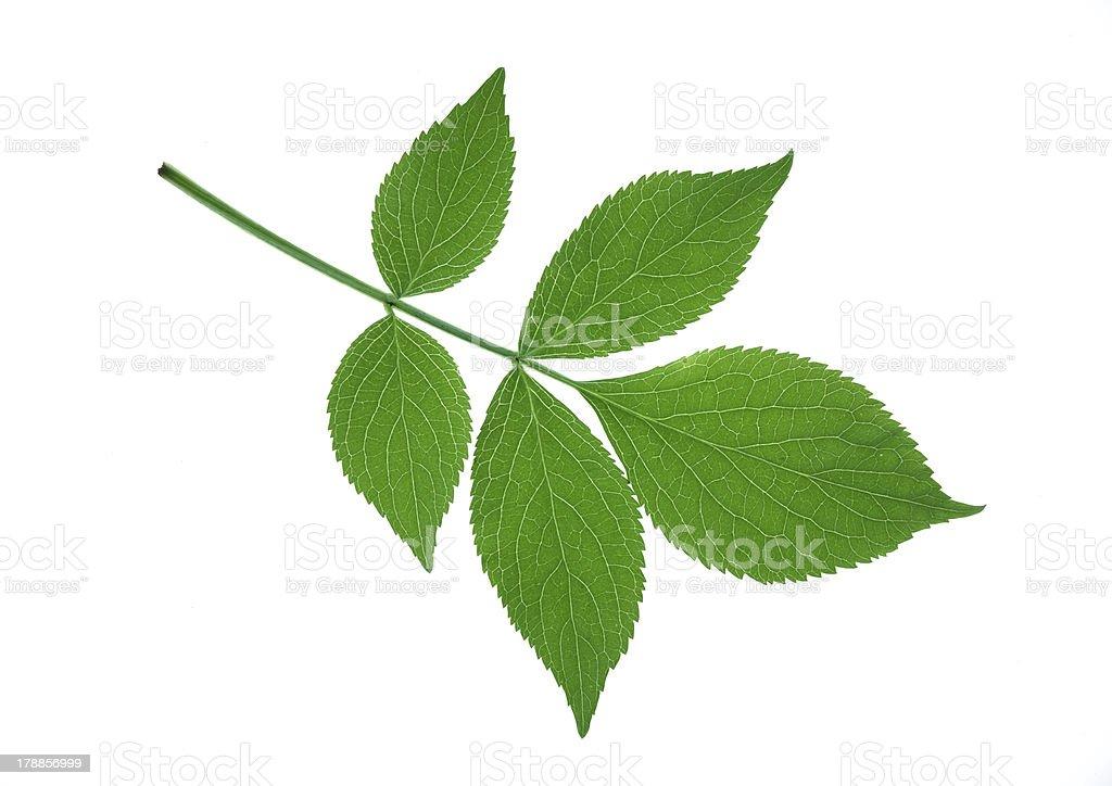 elder leaf stock photo