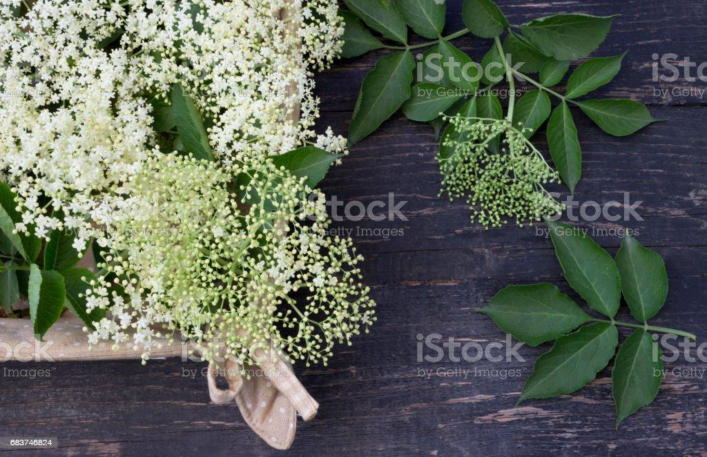 Elder (Sambucus nigra) stock photo