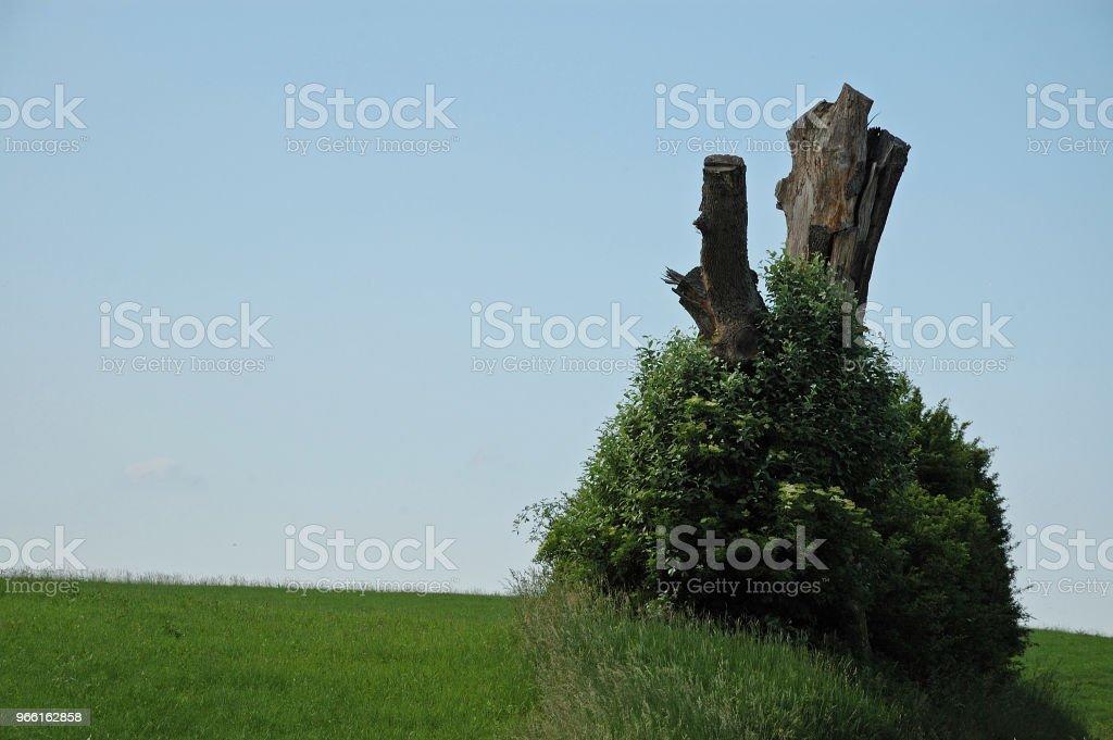äldste buske runt död trädstam - Royaltyfri Blomma Bildbanksbilder