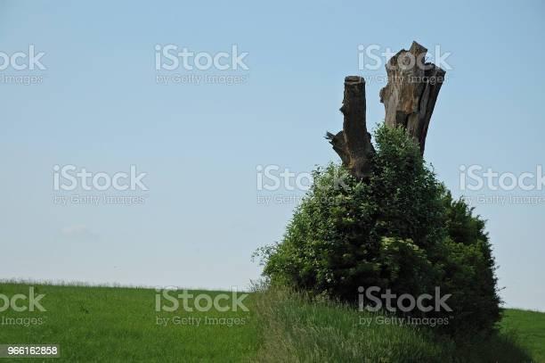 Äldste Buske Runt Död Trädstam-foton och fler bilder på Blomma
