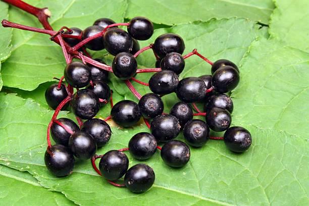 elderberries - roter holunder stock-fotos und bilder