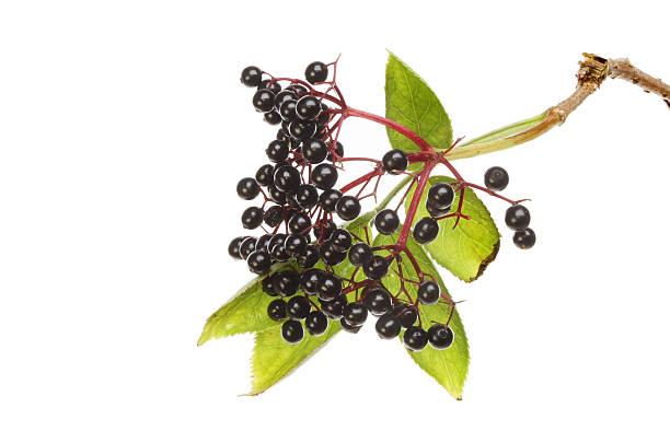 elderberries - weißer holunder stock-fotos und bilder