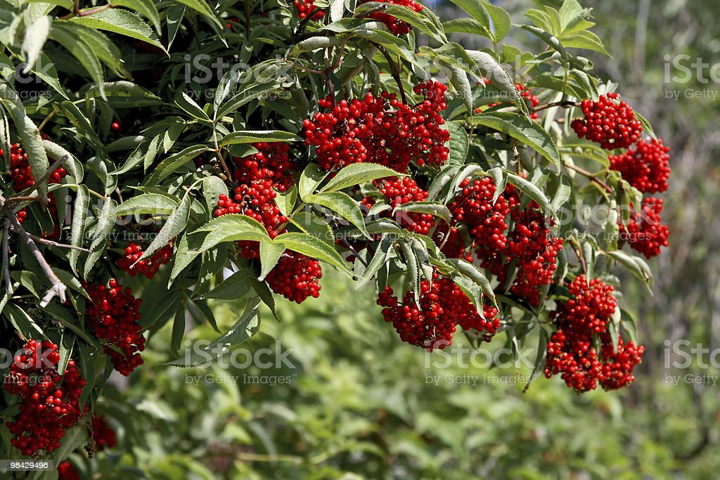 Elderberries (Sambucus racemosa) royalty-free stock photo