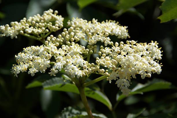 holunderbeere blossom - weißer holunder stock-fotos und bilder
