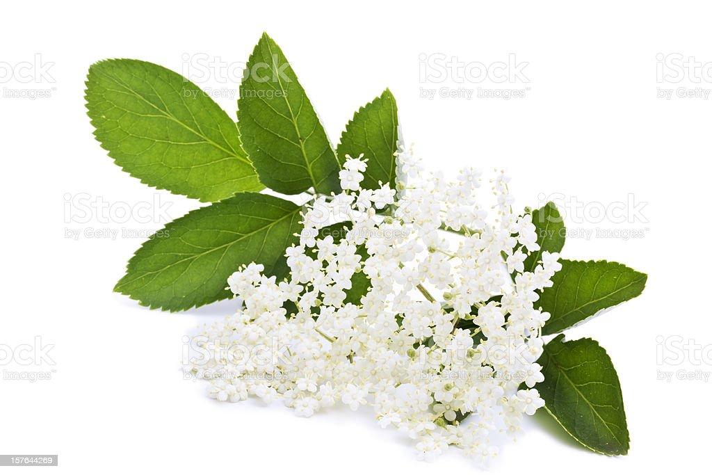 elderberry blossom stock photo