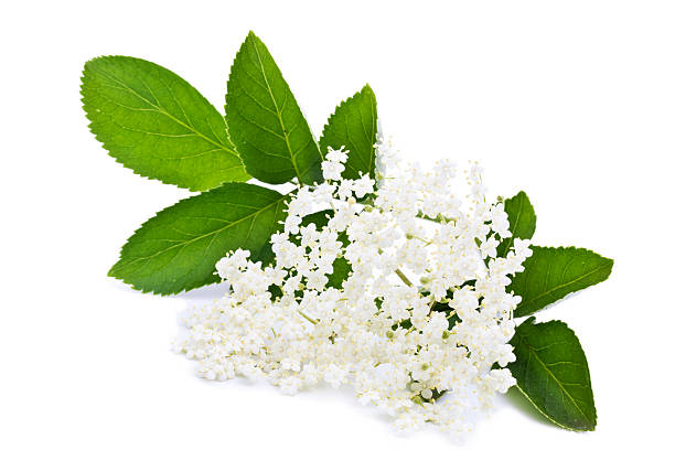 elderberry blossom stock photo