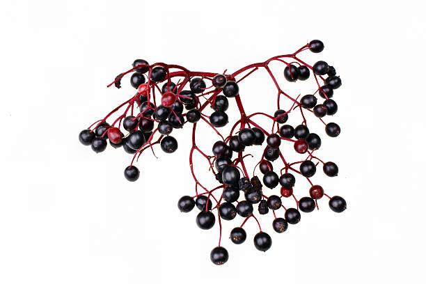 holunderbeere branch - roter holunder stock-fotos und bilder