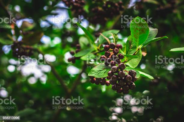 Photo of Elderberry. Closeup view of wet elderberry's bunch over green leaves. Autumn forest berry after rain, soft focus.