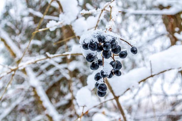 elderberry in winter. - holunderlikör stock-fotos und bilder