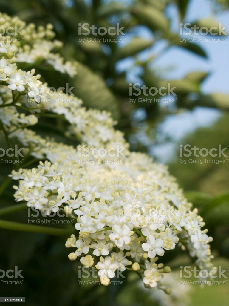 Elderflower 2 royalty-free stock photo