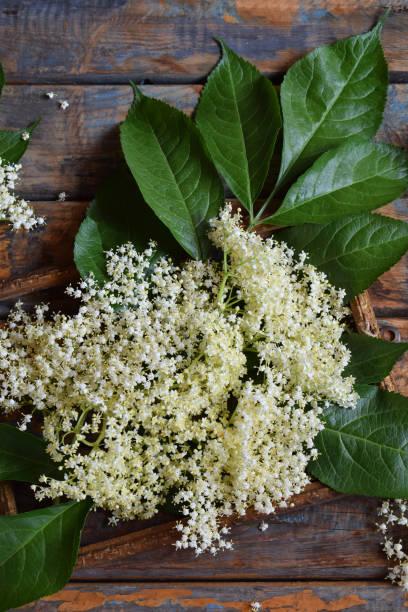 holunderblüten blüte blume in hölzernen hintergrund. essbare holunderbeere blumen hinzufügen geschmack und aroma, getränk und dessert. sambucus nigra - holunderlikör stock-fotos und bilder
