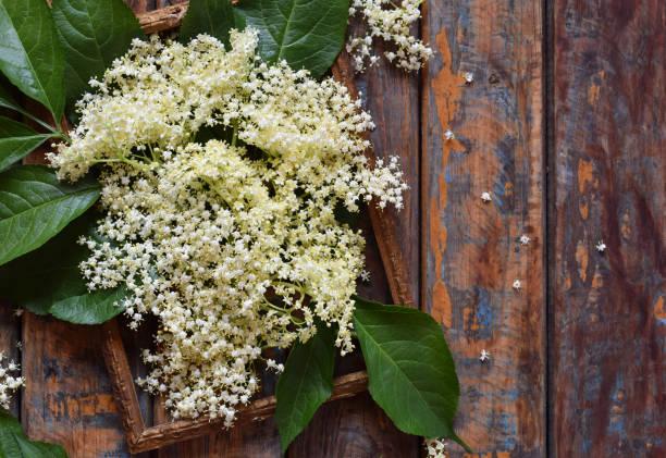 holunderblüten blüte blume in hölzernen hintergrund. essbare holunderbeere blumen hinzufügen geschmack und aroma, getränk und dessert. sambucus nigra. textfreiraum - holunderlikör stock-fotos und bilder