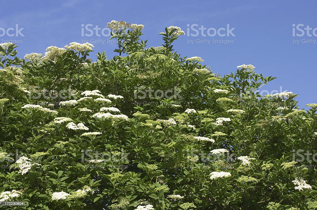 Elderflower stock photo
