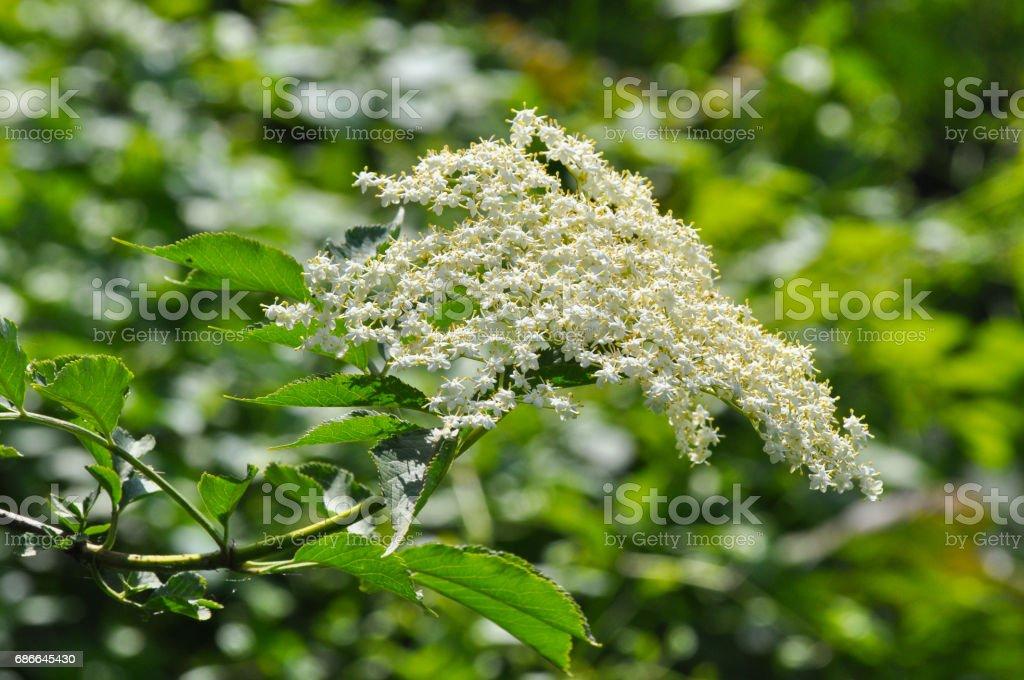 Elderflower, European Elderberry, European Black Elderberry, Common Elder royalty-free stock photo