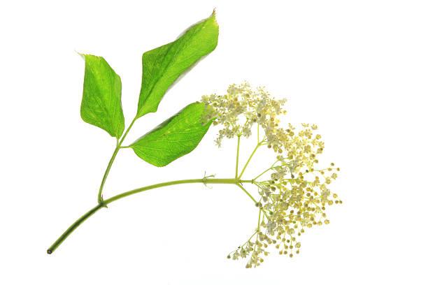 Holunderblüten-(Sambucus nigra) – Foto