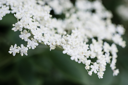 Elderflower tree blossom