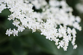 Close up of Elderflower tree blossom.  Elderflowers are the last of the great tree flower displays of the Spring in Great Britain and Ireland. The umbrellas of dense, tiny white flowers send out an alluring sweet smell that can be captured in drinks such as cordial and champagne.