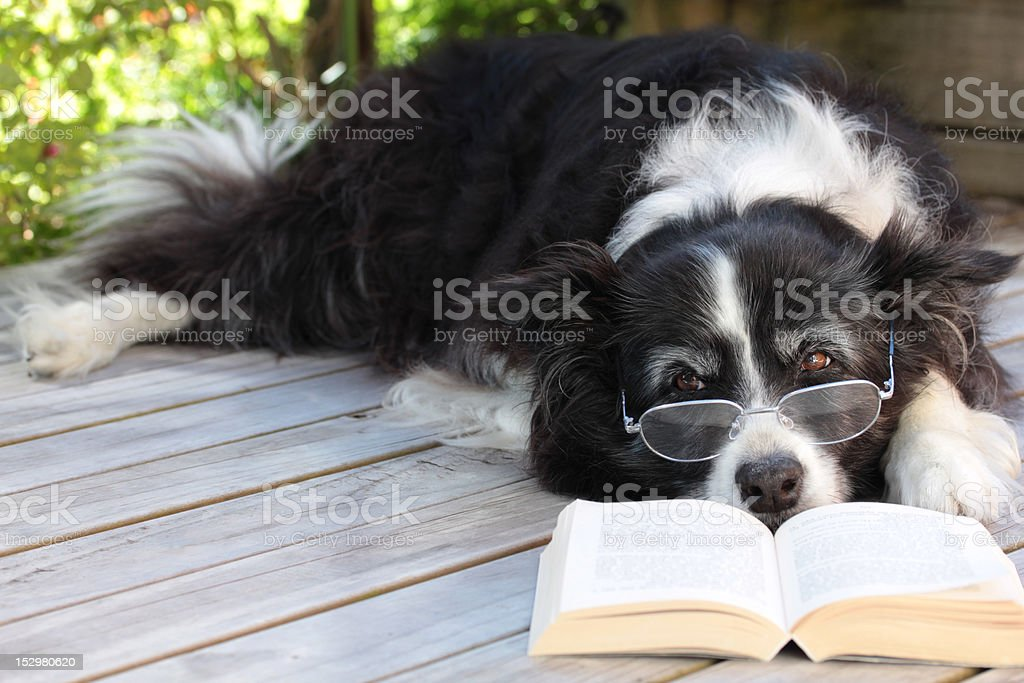 Elderly Border Collie Dog Relaxing on Deck with Book foto