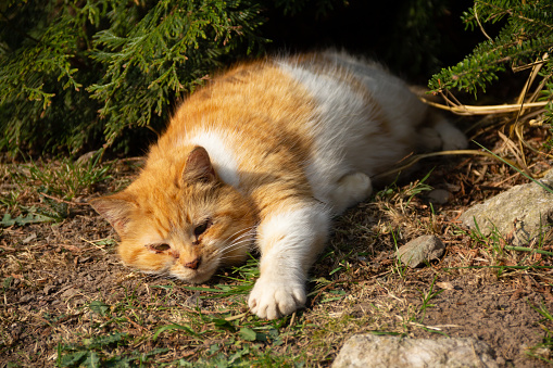 Elderly ginger and white cat with runny sore eyes relaxes under trees on ground on sunny day