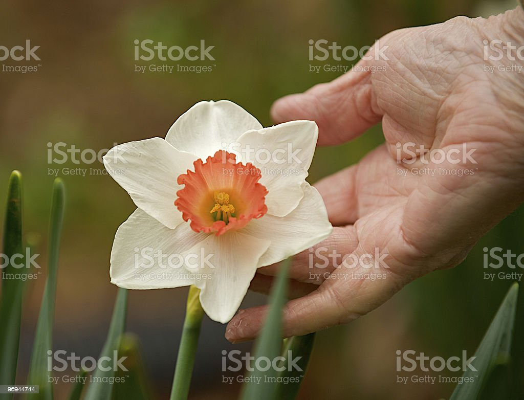 Elderly hand holding a daffodil. royalty-free stock photo