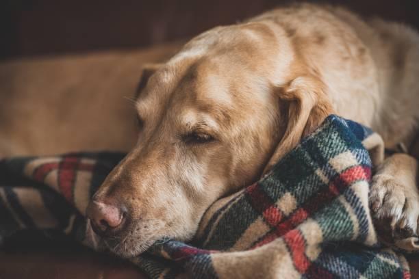 Elderly Labrador retriever cozily resting on flannel blanket stock photo