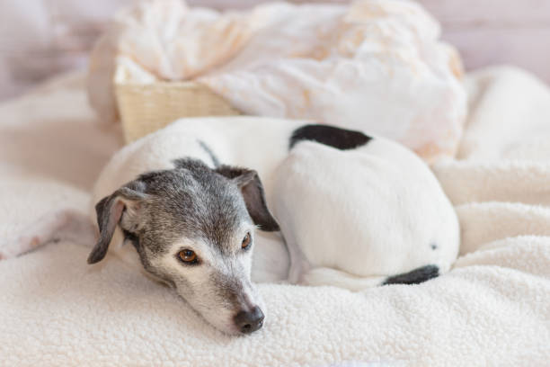 Elderly rat terrier dog cozily relaxing at home stock photo