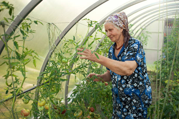 elderly woman 80 years in a greenhouse harvesting tomatoes stock photo