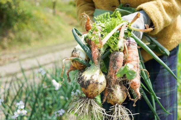高齢者の女性が野菜を収穫 - 収穫 ストックフォトと画像