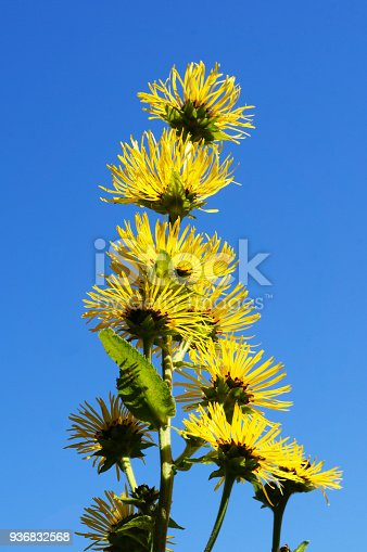 Elecampane or Inula helenium or horse-heal or alanroot or elfdock many yellow flowers with blue background vertical