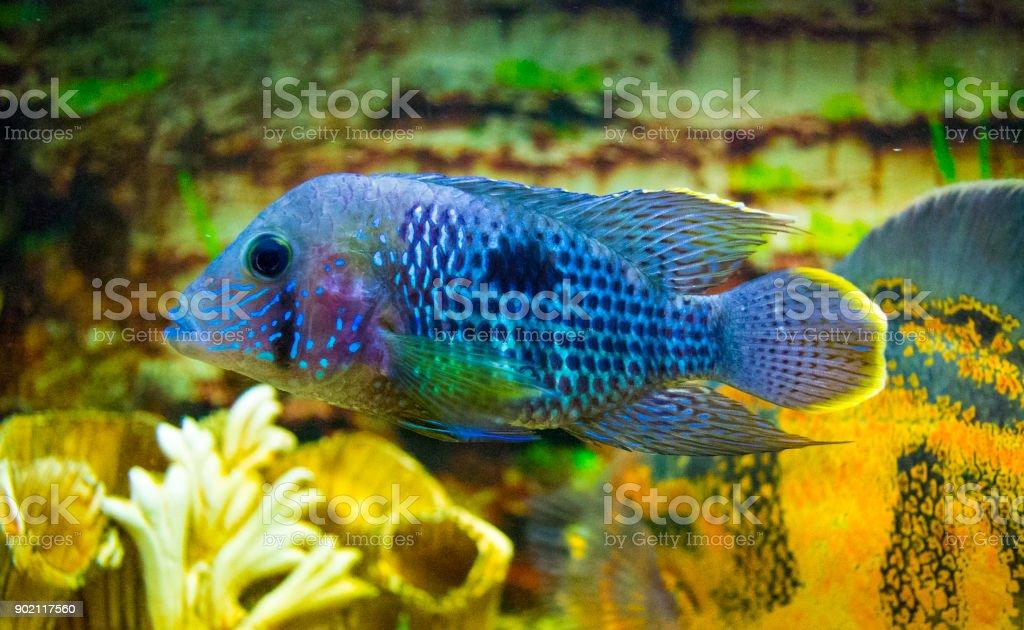 Electric Blue Acara Cichlid Fish. Nannacara Neon Blue stock photo