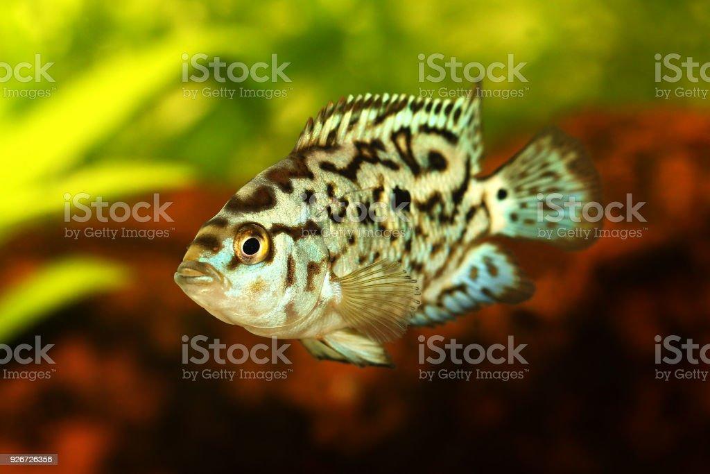 Electric blue jack dempsey cichlid Nandopsis Octofasciatum aquarium fish stock photo