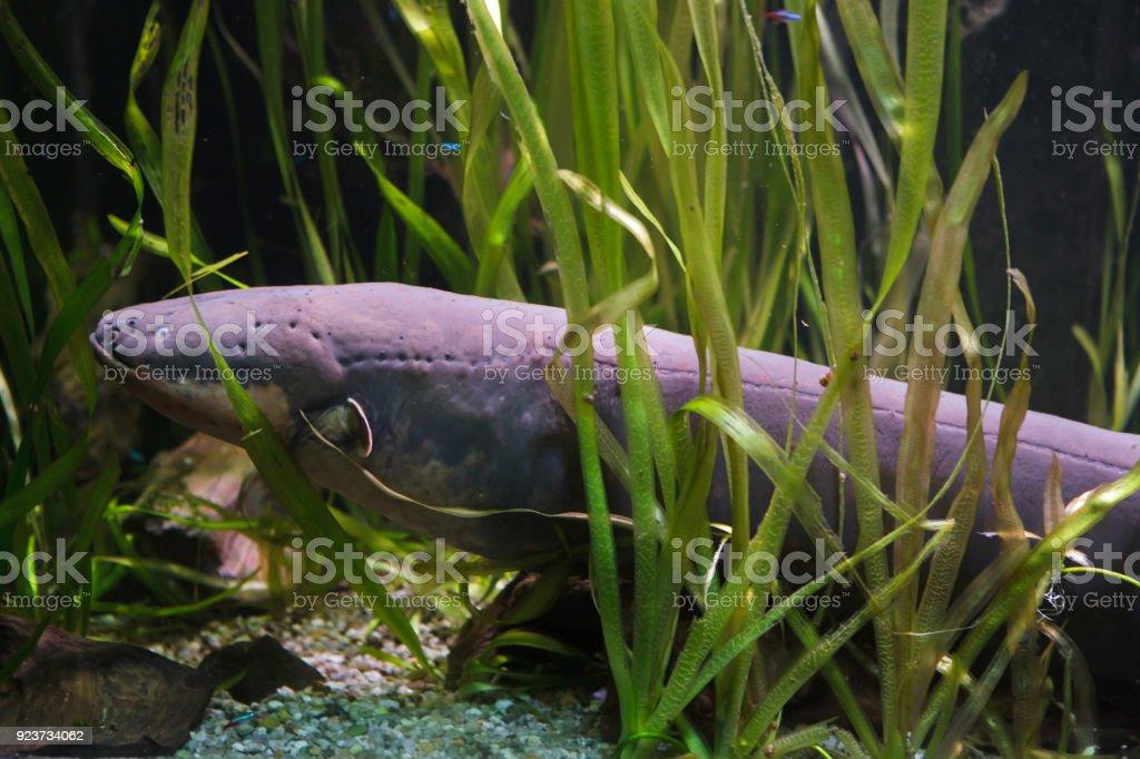 Anguille électrique (Electrophorus electricus - Photo