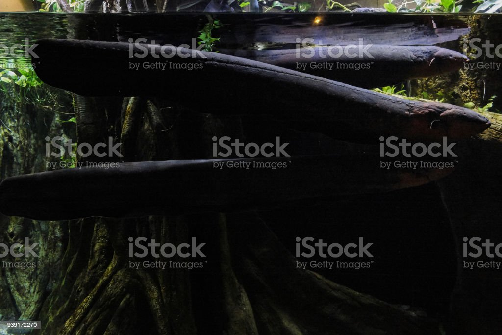 Electric eel underwater stock photo