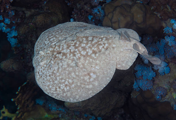 Electric Ray stock photo