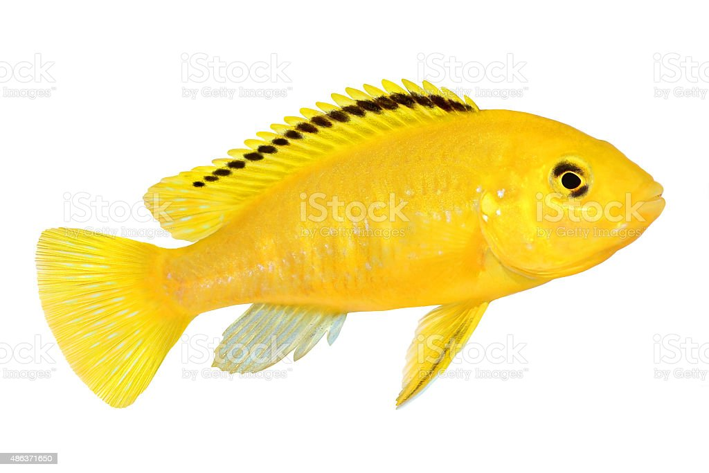 Electric yellow cichlid Labidochromis caeruleus Malawi Aquarium Fish stock photo