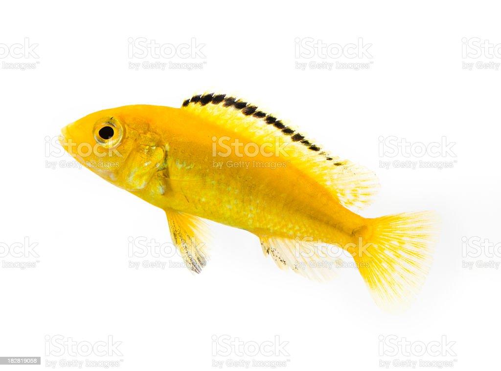 Electric Yellow Cichlid stock photo