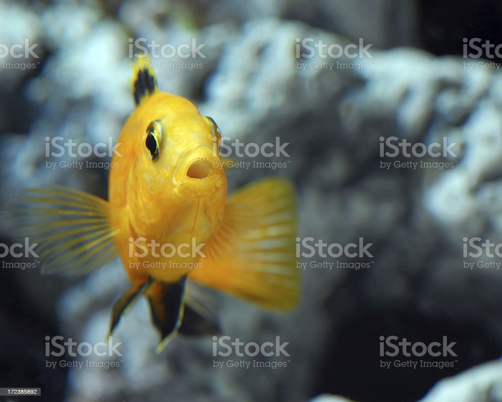 Electric Yellow (African Cichlid) stock photo
