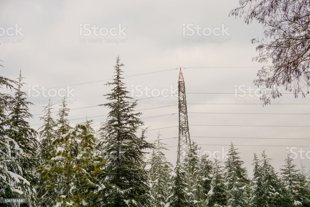 Pine trees on a snowy weather, electricity transmission line and...