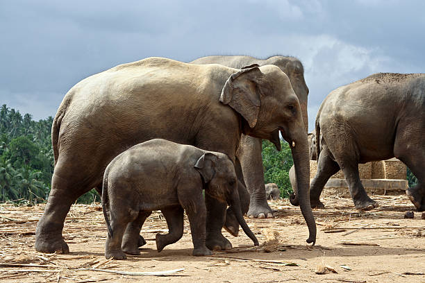 elefant family in open area elefant family stays together in the wilderness yala stock pictures, royalty-free photos & images
