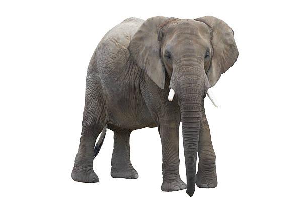 elefant avec un Tracé de détourage - Photo