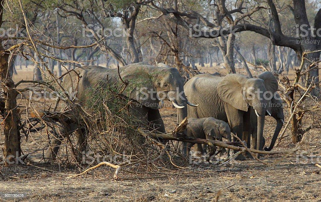 Elefantenfamilie stock photo