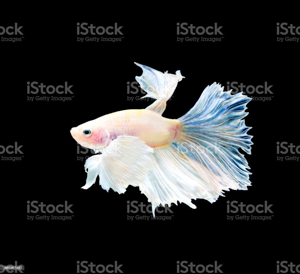 Elegance beta fighting fish on black background stock photo