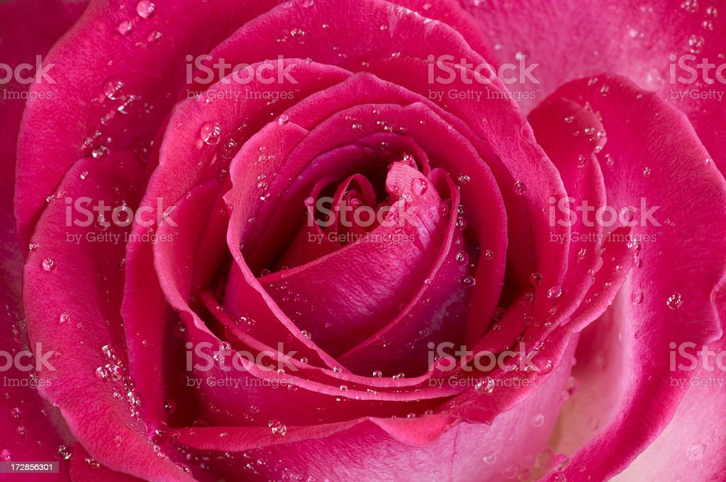 Elegance in Nature, Magenta Rose Full Frame Macro royalty-free stock photo