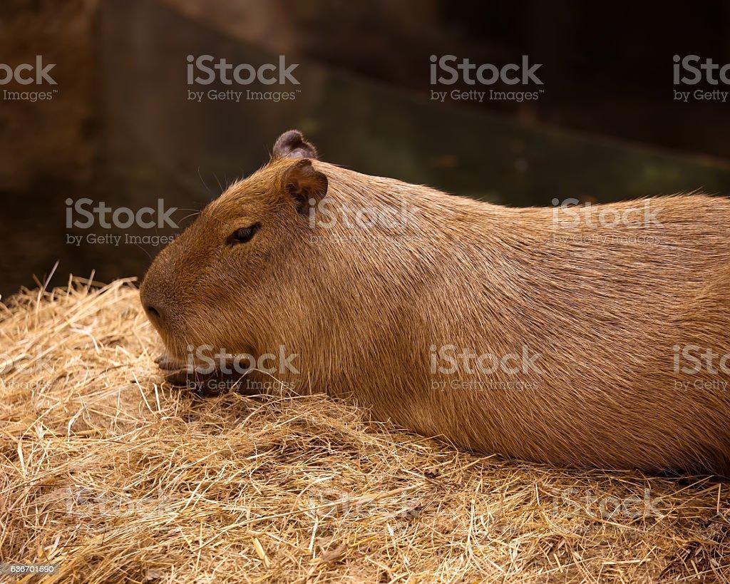 Elegant and beautiful capybara close up in the zoo. stock photo